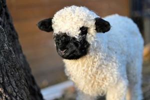 Mouton Nez Noir