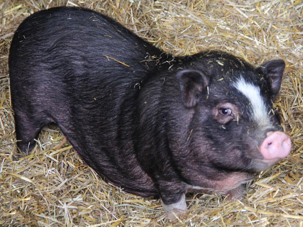 Cochon Vietnamien