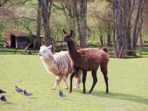 Lama et Alpaga
