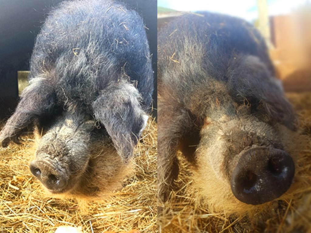 Cochons Laineux la gavotte – camps de vacances et ferme de loisirs - cochon laineux
