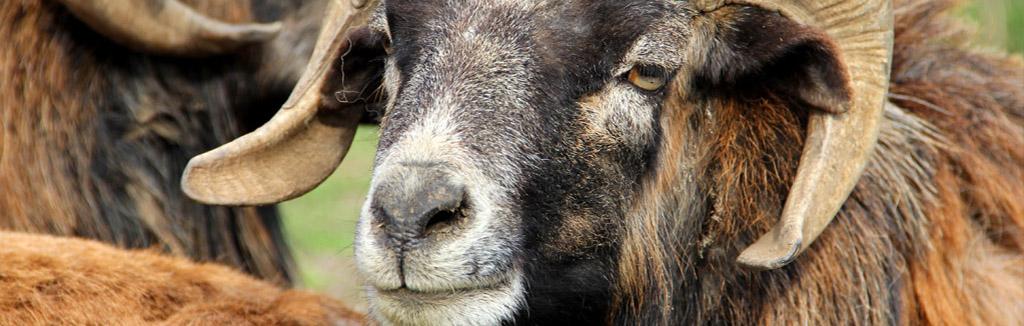 mouflon-1024x326